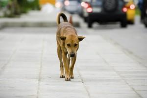 cane vagante